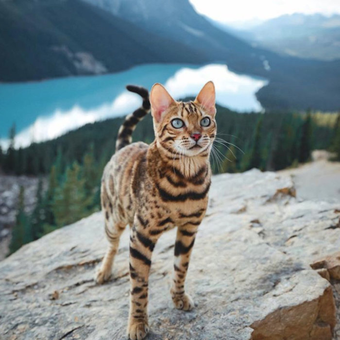 Suki the Adventure Cat Peyto Lake