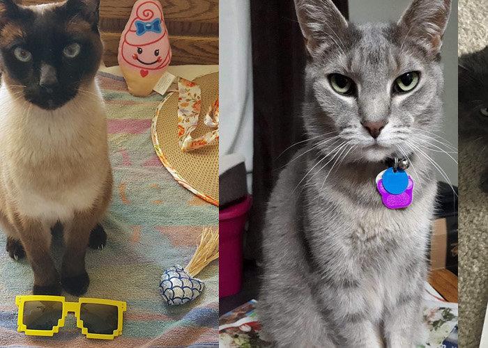 Edmonton Cat Festival Cat Photo Contest Collage